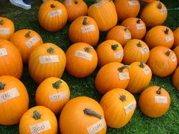 700円~1000円のお好きなかぼちゃを選んでいただきます