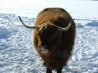 スコットランド原産の肉牛です!