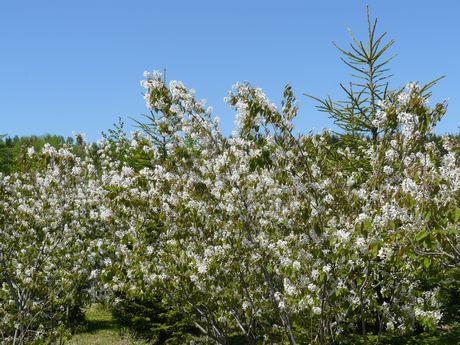 ジューンベリ-の花.jpg