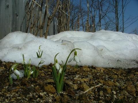 もしかしたら雪は花になりたかったのかな…