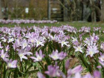 春の花チオノドクサ