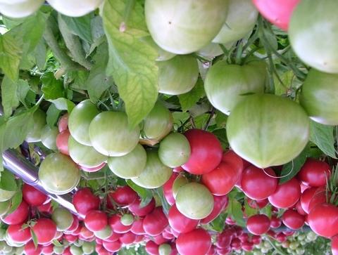 トマトマ231.jpg