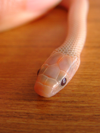 ヘビ頭部.jpg