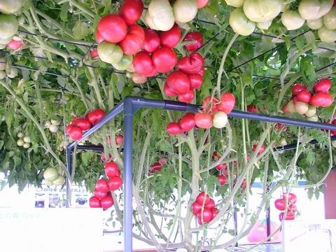 ピカピカのトマト達