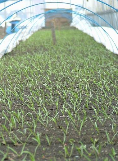 ホウレン草の絨毯が広がっています