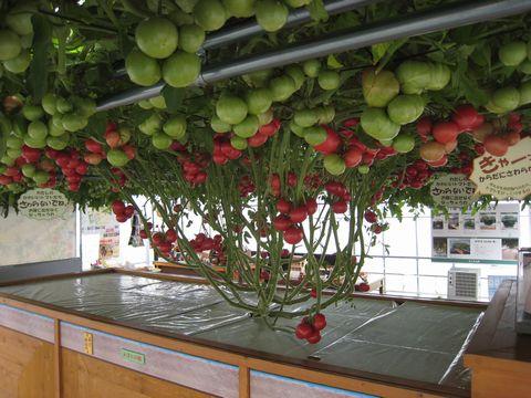 種まきから半年!赤いトマト350個!.jpg