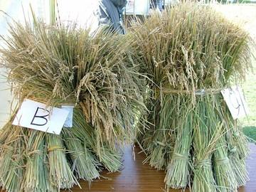 立派な稲です