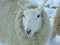 美人でしょ…羊ですよ