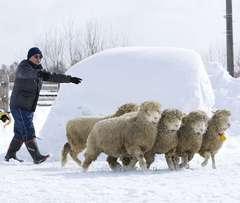 羊ってこんなに走るのね…