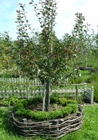 りんごの木にツゲをとりあわせる