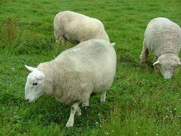 羊ちゃん 何を吟じる 教えてよ