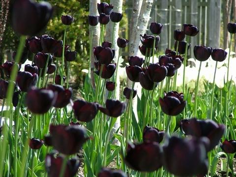 白系と黒系の花を集めたお庭です