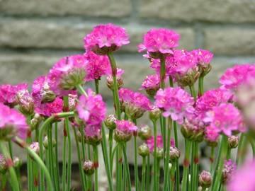 アルメリア マリティマ【ハーブガーデン】とても丈夫な植物です