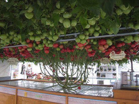 190日目赤いトマト450個.jpg