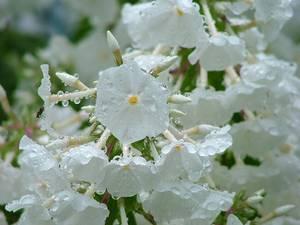 ハナシノブ科の花