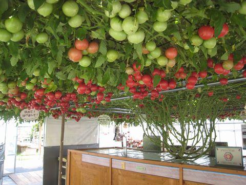 220日目赤いトマト1200個.jpg