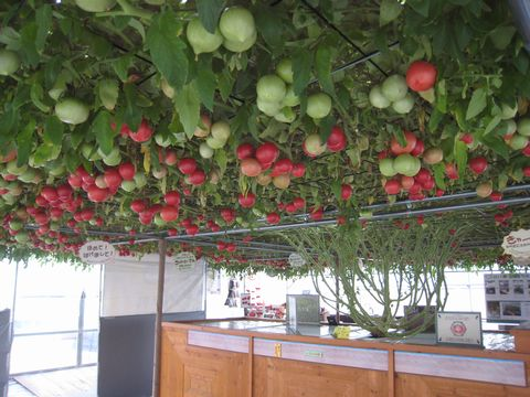 240日目赤いトマト1100個.jpg