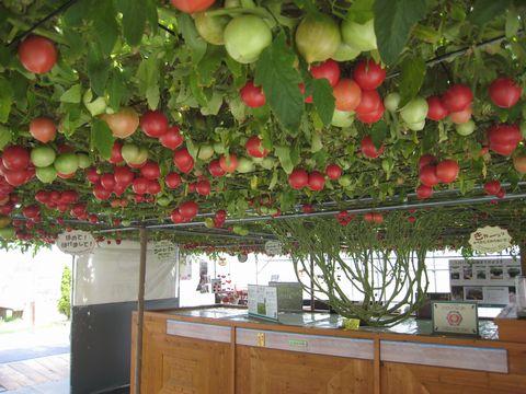 250日目赤いトマト1200個.jpg