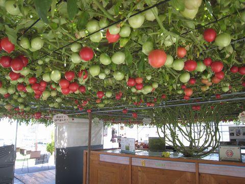 260日目赤いトマト1100個.jpg