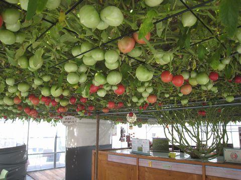 270日目赤いトマト600個.jpg