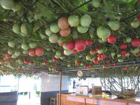 280日目赤いトマト1000個.jpg