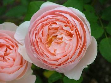 rosa sweet dream_