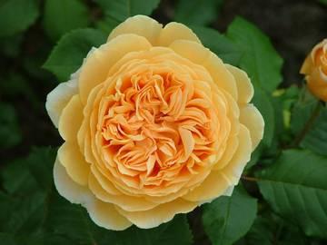 rosa croun princess margareta_