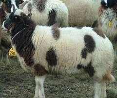 ジェイコブっていう羊だよ
