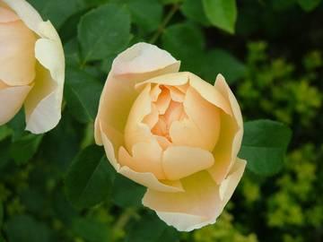 rosa croun princess margareta _