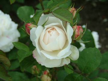 rosa winchester cathedral _