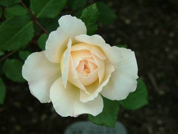rosa crocus rose _