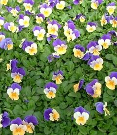 ビオラの花言葉は「誠実な愛」 我々も誠実な愛で銀河庭園を!チームワークを育みます!