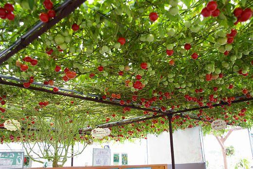 tomato no mori2.jpg